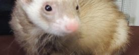 Your Best Friend is a Ferret